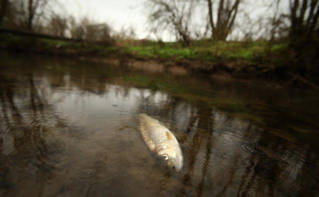 Onesnaženje in ponovni pogin rib v potoku Tojnica. FOTO: Jure Eržen/Delo