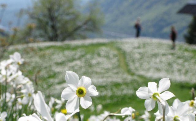 Znanilce pomladi lahko nepredvidljivo vreme še kako preseneti.