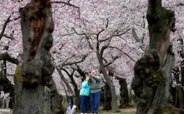Sebek pod cvetočimi češnjami v Washingtonu. FOTO: Joshua Roberts/Reuters