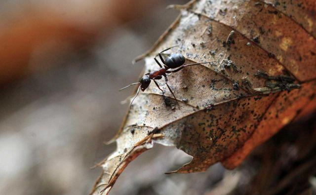 Vse mravlje vrsteColobopsis explodens se sicer ne morejo razstreliti. To lahko storijo zgolj male delavke, ki so neplodne. FOTO: Mavric Pivk/Delo