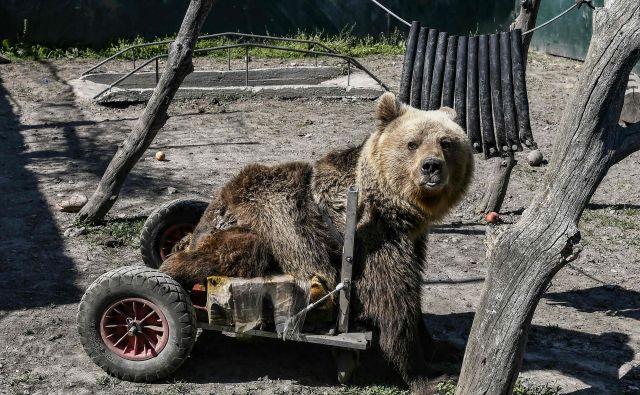 Triletni paralizirani medved Usko živi v zavetišču Arcturos na pobočjih gore Vitsi, približno 600 kilometrov severozahodno od Aten. Zatočišče Arcturos je namenjeno predvsem medvedom in volkovom. V zavetišču je zdaj 20 medvedov in sedem volkov, ki živijo ločeno. FOTO: Aris Messinis/AFP