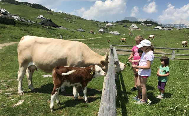 Pastirji in živina na planino pridejo okoli 8. junija. FOTO: Leon Vidic