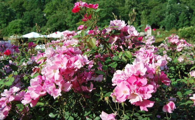 Slovenija ima zelo ugodne pogoje za gojenje, še posebno osrednja Slovenija in Gorenjska, kjer cvetijo junija in Primorska, ki jo olepšajo že maja. FOTO: Arhiv Društva ljubiteljev vrtnic