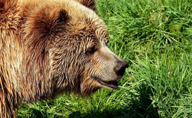 Na območju so medvedi v 90. letih prejšnjega stoletja skoraj izumrli, a so od leta 1996 naprej v gore preselili sprva tri slovenske medvede, kasneje pa še pet, da bi prispevali k njihovi ohranitvi. FOTO: Pixabay