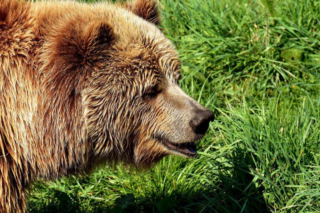 V francoskih Pirenejih kmete razburjajo slovenski imigrantski medvedi