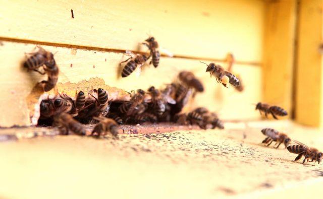 Brez čebel se človeštvu slabo piše. FOTO: