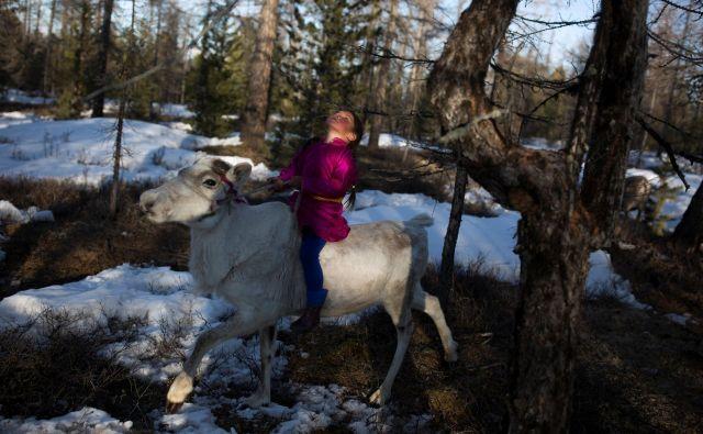 Cece, šestletna hči Duka, pastirja Erdenebata Čuluja, jezdi jelena v gozdu blizu mongolske vasi Caganur. Zaradi lahke telesne teže otroci trenirajo mlade severne jelene, da bi postali čim nolj vodljivi in ubogljivi. FOTO: Thomas Peter/Reuters