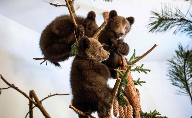 Osirotele medvedje mladiče, ki so jih našli v bolgarskem gorovju, bodo iz zavetišča za medvede Belitsa premestili v grško zavetišče za osirotele medvede Arkturos. FOTO: Hristo Vladev/AFP