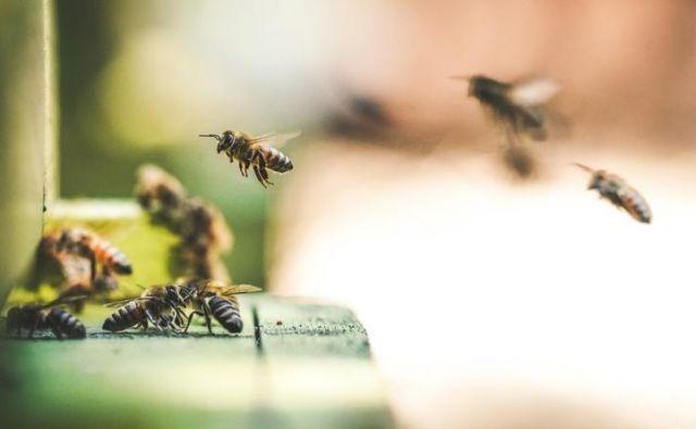 Je čebel res čedalje manj? FOTO: Unsplash