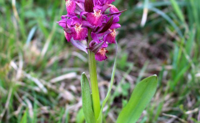 Divje orhideje so najlepše pokazateljice naravno ohranjenih ekstenzivnih travišč. Foto Ljudmila Strahovnik