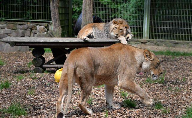 Lev Malor (zadaj) in njegova mama Lira v ogradah živalskega vrta Eifel. FOTO: AFP