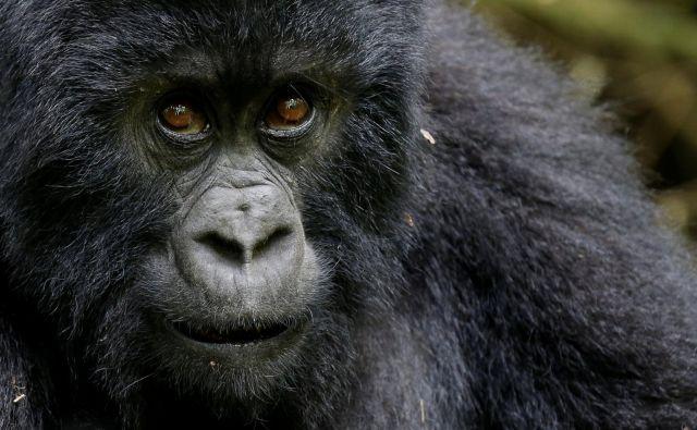Ogrožena gorska gorila v Ruandi. FOTO: REUTERS/Thomas Mukoya