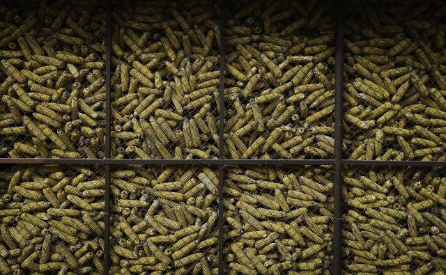 V dolini reke Ebre ni več ne ekološke ne klasične pridelave koruze, ker je sobivanje teh vrst z gensko spremenjeno koruzo MON810 nemogoče. Ta koruza namreč z navzkrižnim opraševanjem kontaminira gensko nespremenjeno koruzo, zasejano na sosednjih poljih. FOTO: Jože Suhadolnik