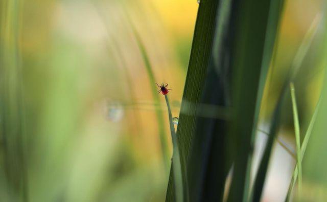 Klopi se skrivajo v visoki travi, zato jo na vrtu redno kosite.