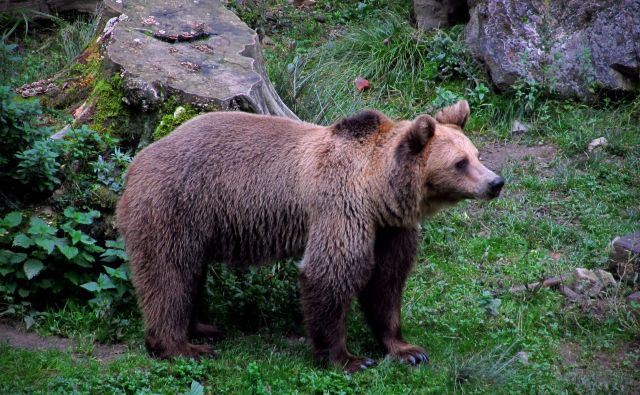 Rjavi medved v ljubljanskem �ivalskem vrtu 28.septembra 2013 FOTO: Blaž Samec
