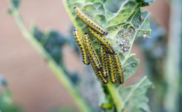 Gosenice. FOTO: Shutterstock