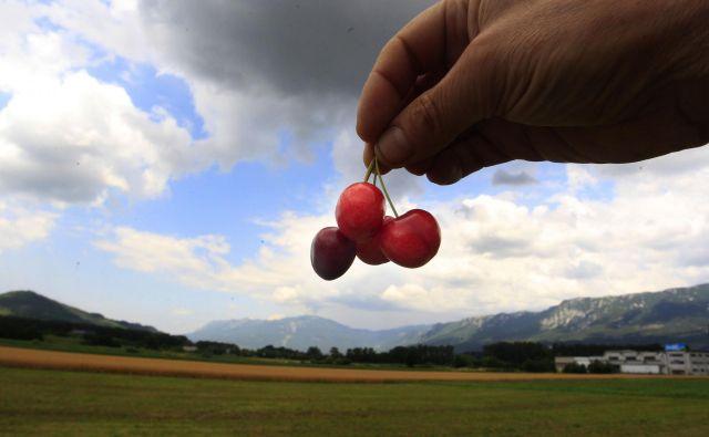 Prave češnje so vipavske.<br /> FOTO: Roman �Šipić