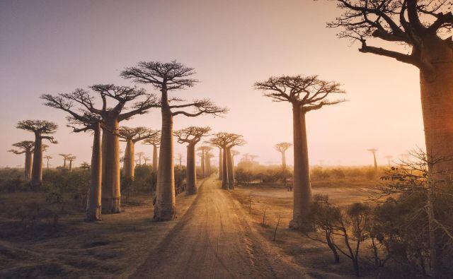 Baobabi ali kruhovci. FOTO: Shutterstock