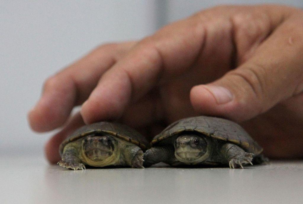 FOTO:Nova vrsta želve že med najbolj ogroženimi vrstami (FOTO)