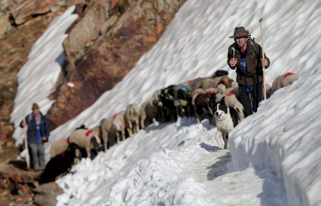 FOTO:Ovčja odisejada