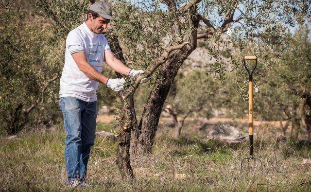 Za oljke so začeli skrbeti tudi domačini. FOTO: Oscar Galvan