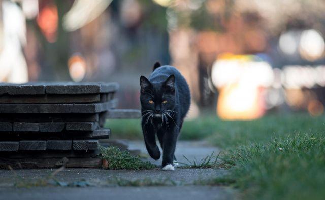 Črna mačka FOTO: Shutterstock
