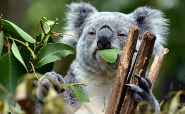 Koala je evkaliptus. FOTO: Shutterstock