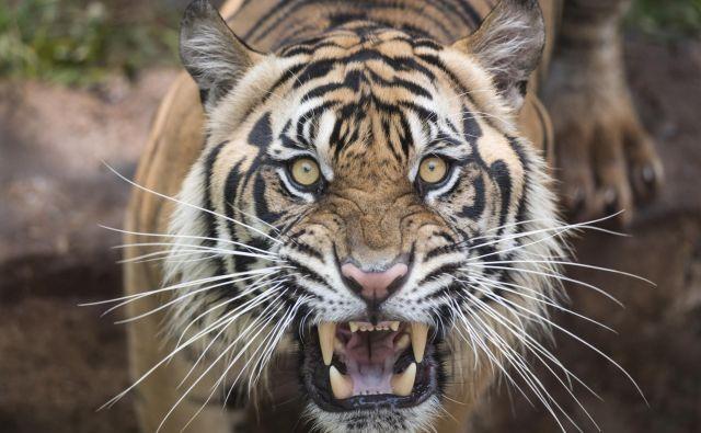 Tiger. FOTO: Thinkstock