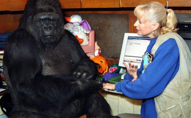 Koko se je skotila leta 1971 v živalskem vrtu v San Franciscu, a je večino življenje preživela pri fundaciji. FOTO: Dr. Ronald H. Cohn/AP