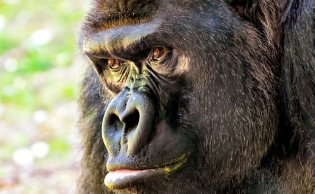 Gorile so zelo učljive.