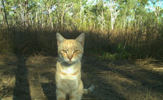 Potepuška mačka v avstralski divjini. FOTO: AFP