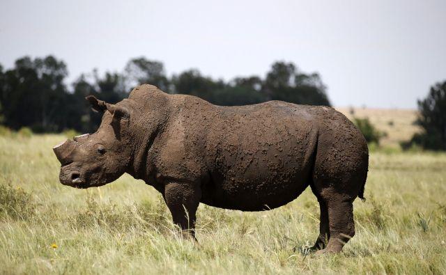 Ponovni ponos Čada, črni nosorog. Foto Siphiwe Sibeko Reuters