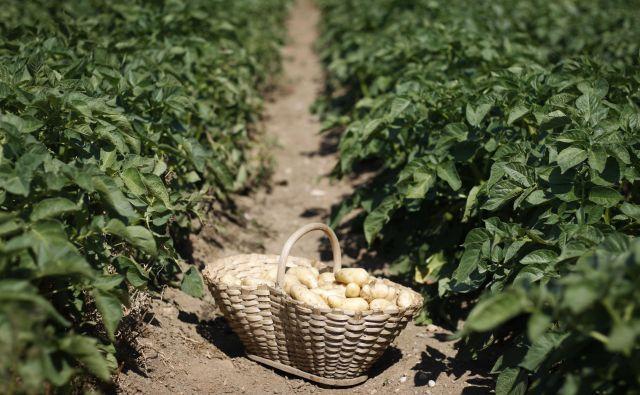 V slovensko sortno listo sta vpisani dve ekološki sorti krompirja. FOTO: Leon Vidic