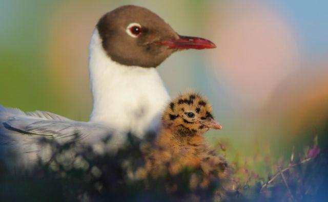 Kljub spomladanskemu množičnemu poginu so ornitologi na Ptujskem jezeru letos našteli rekordno število gnezdečih parov, več kot tisoč. Foto Jure Novak