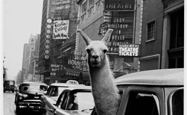 Lama na Times Square Foto Inge Morath