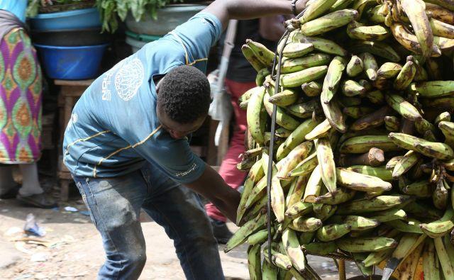 Za zdaj se nam ni treba bati pomanjkanja banan, a to se lahko hitro spremeni. FOTO: Steve Jordan/AFP