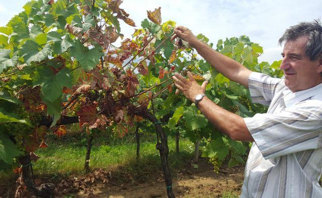 V Koprski kleti Vinakoper nam je vodja enote Prade Igor Kozlovič povedal, da imajo na 50 hektarjih refoškovega vinograda v Pradah od pet do deset odstotkov prizadetih trsov. Foto Boris Šuligoj