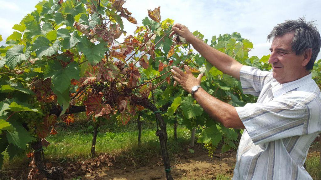 Kap množično desetka vinsko trto