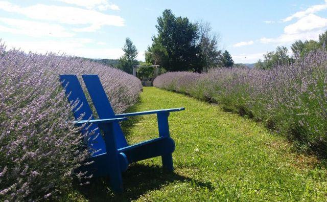 Urška Lemut Šušteršič je začela s 30 sadikami sivke, zdaj jih ima več kot tisoč.