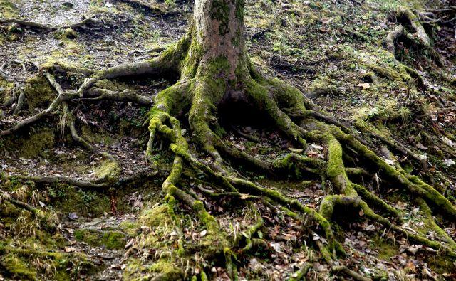 Drevo in korenine,Ljubljana Slovenija 31.01.2018 [Okolje,mNrava] Foto Roman �ipić/delo