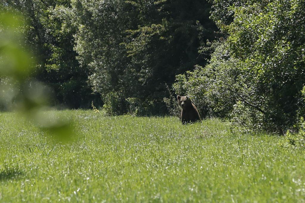 FOTO:Medvedi na Barju so čisto blizu ljudem