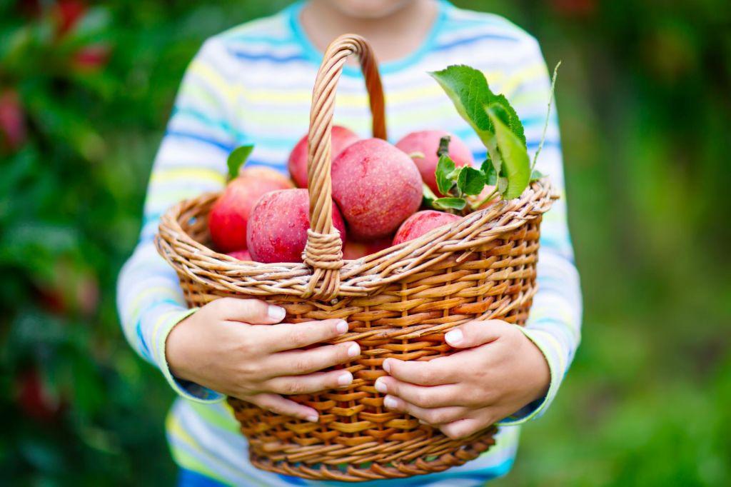 Zaradi slabega vremena lani za polovico manj ekološko pridelanega sadja