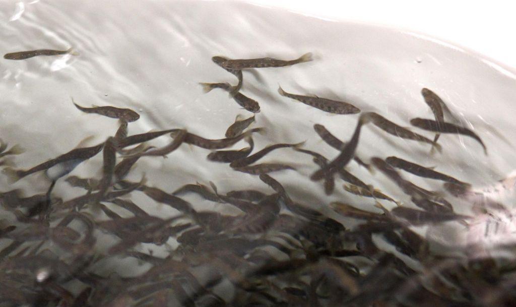 Večji pogin rib v Soči