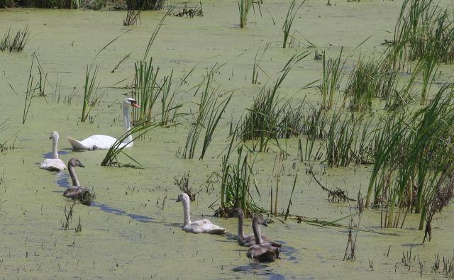 Kraljestvo za vodne ptice.<br /> Foto Tadej Regent/delo