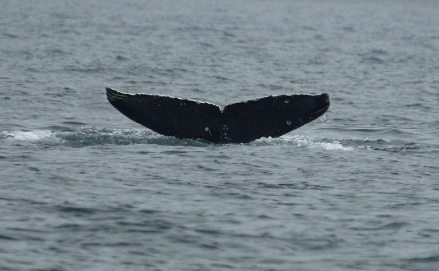 Upadanje količine antarktičnega krila bi imelo najbolj uničujoče posledice za vosate kite, saj predstavlja glavnino njihove prehrane v vodah Antarktike. FOTO: Reuters