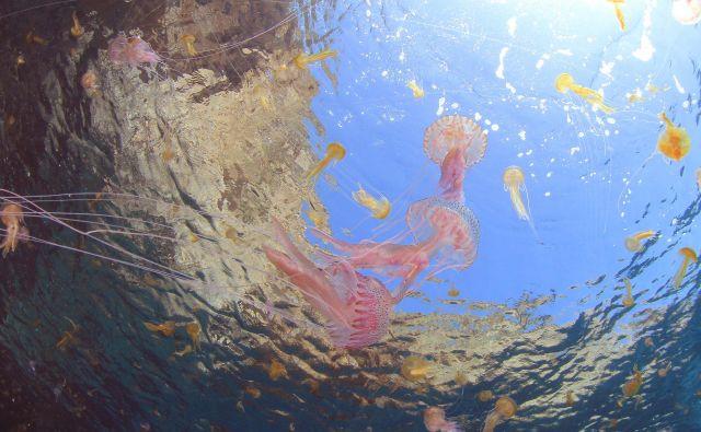 Meduze se najraje zadružujejo v toplih plitvah vodah. FOTO: Shutterstock