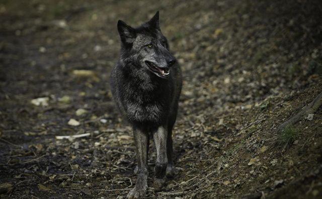 Po zadnjih podatkih je lani pri nas živelo okoli 80 volkov. Okoljsko ministrstvo za obdobje od 1. oktobra letos do 30. septembra 2019 predlaga odvzem 11 živali. Na fotografiji volk v ljubljanskem živalskem vrtu. FOTO: Jože Suhadolnik