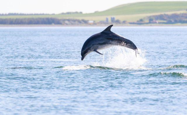 Delfini so družabna bitja. Kot da bi se jim zdelo, da je samota dolgočasna. FOTO: Shutterstock