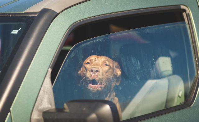 Poleti jih nikoli ne puščajmo v parkiranem avtomobilu. Fotografija je simbolična. FOTO: Istockphoto