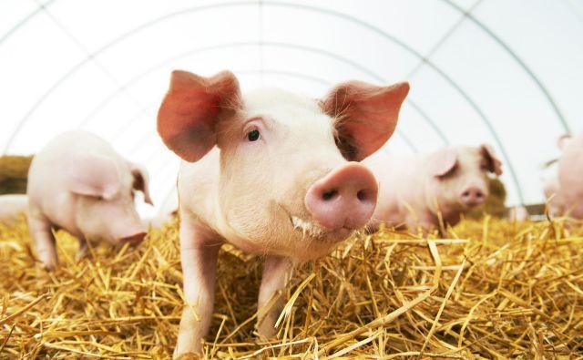 Na živalski farmi so si vzeli največ pravic prašiči, ki so sodelovali z največjim sovražnikom živali, da bi ohranili oblast.FOTO: Kadmy Getty Images/istockphoto